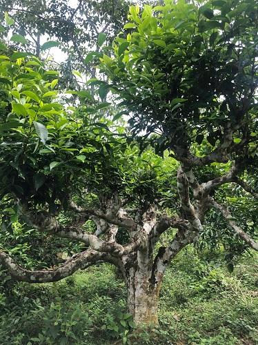 300年の茶の樹