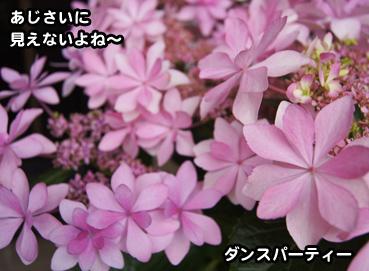 ajisai9809.jpg