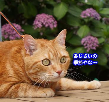 ajisai0021.jpg
