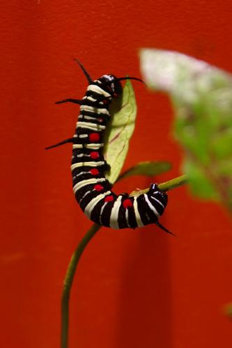 オオゴマダラチョウ幼虫