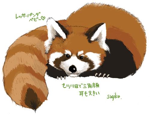 レッサーパンダの画像 p1_15