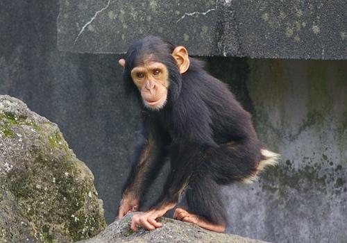チンパンジーの画像 p1_12