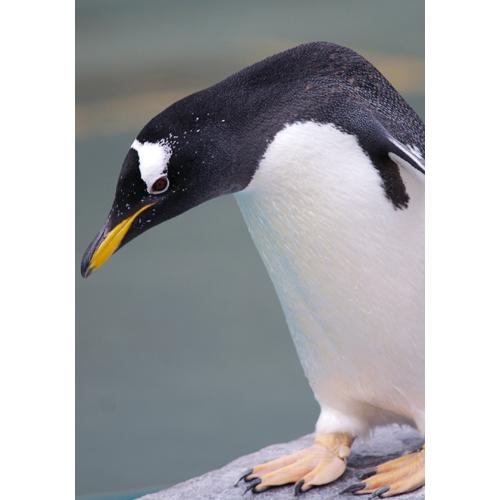 ジェンツーペンギン