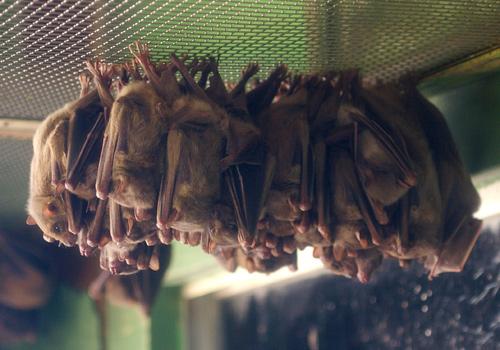 エジプトルーセットオオコウモリ