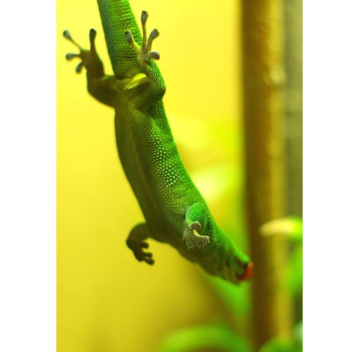 マダガスカルヒルヤモリ