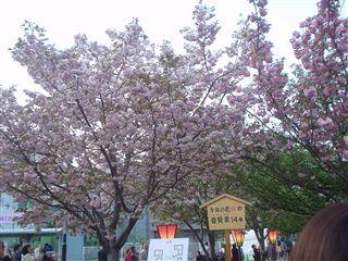 080421_大阪造幣局「桜の通り抜け」