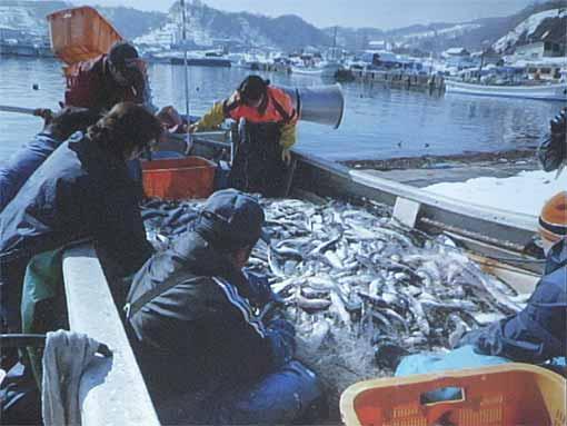 ニシン漁1