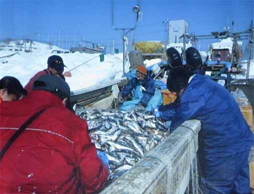 ニシン漁2
