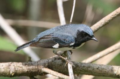 ノドグロルリアメリカムシクイ(Black-throated Blue Warbler)