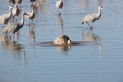 カナダヅルの水浴び