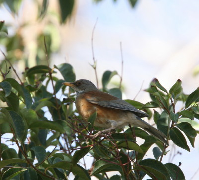 Rufous-backed Robin 3