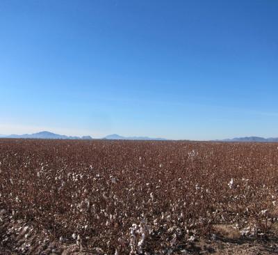 Cotten Field