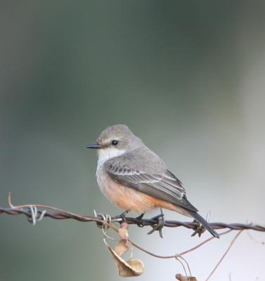 Vermilion Flycatcher (F)