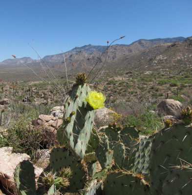 Cactus flower & Mt.
