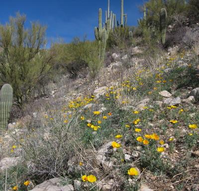 Saguaro & Poppy