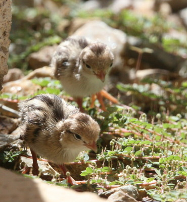 草の虫を探す雛2羽