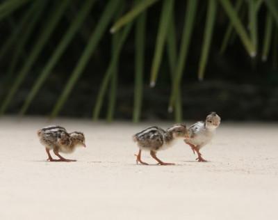 雛3羽で歩く