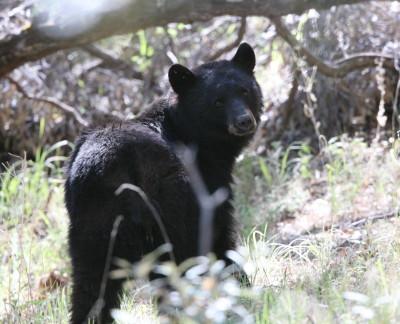 American Black Bear 1