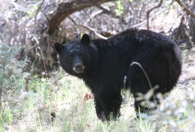 American Black Bear 2