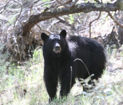 American Black Bear 3