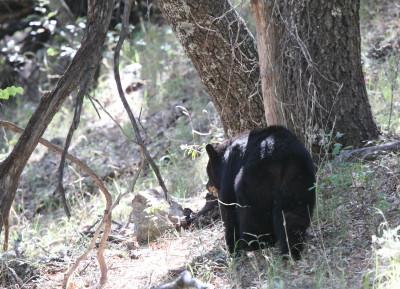 American Black Bear 4