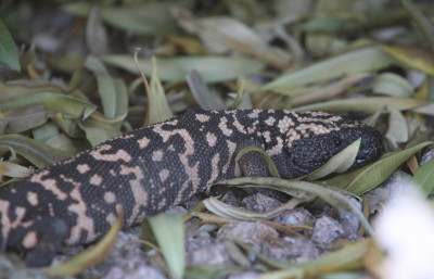 Gila Monster 3