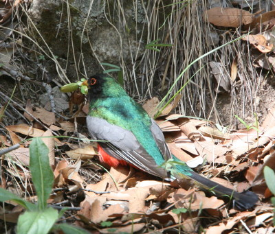 Trogon Male & Beetle