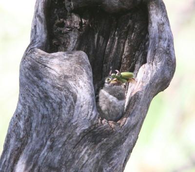 Trogos Chick & Beetle