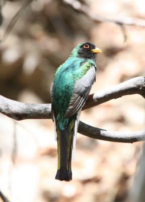 Trogon Male 7
