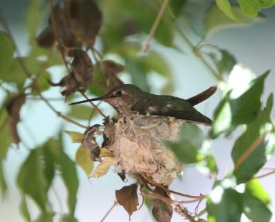 巣に座るアンナ ♀