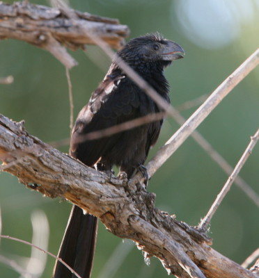 Grove-billed Ani 2