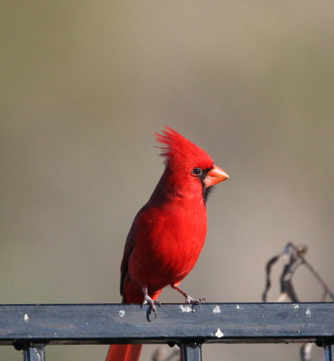 Northern Cardinal rizona