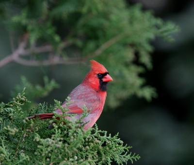 Northern Cardinal NY 1