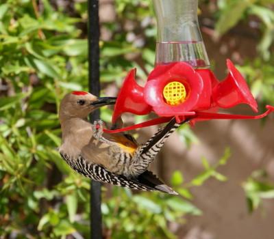 Gila Woodpecker ハムフィーダー