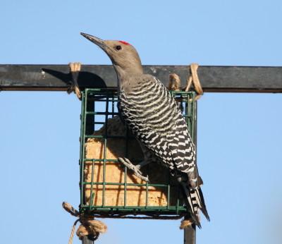 Gila Woodpecker スエットフィーダー