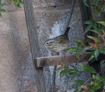 Lincolns Sparrow 1