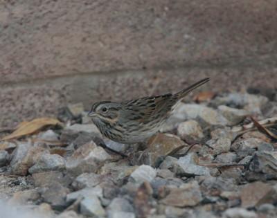 Lincolns Sparrow 2