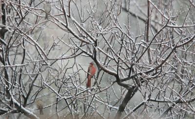 吹雪のPyrrhuloxia