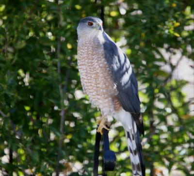 Coopers Hawk ♂ 1