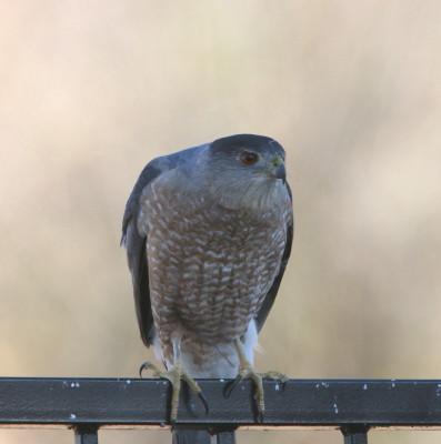 Coopers Hawk ♂ 2