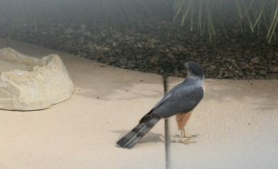 Coopers Hawk ♂ 3