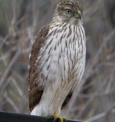 Coopers Hawk ♀