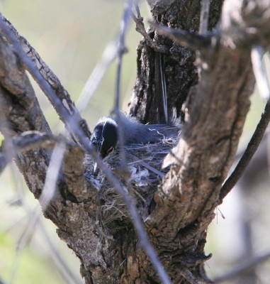 Black tailed Gnatcatcher 2