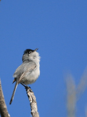 Black tailed Gnatcatcher 3