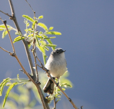 Black tailed Gnatcatcher 4