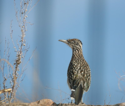 Greater Roadrunner 2