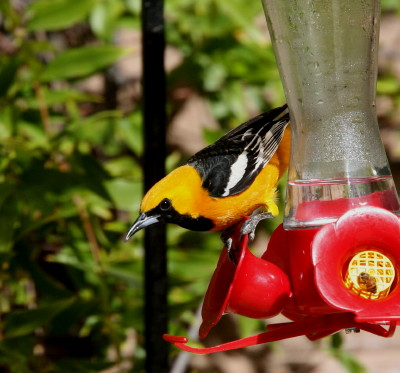 Hooded Oriole 1