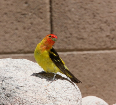 Western Tanager 2889