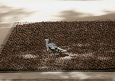 Yellow-rumped Warbler 7199