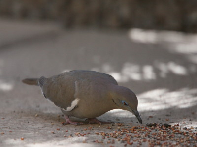 White-winged Dove 8084